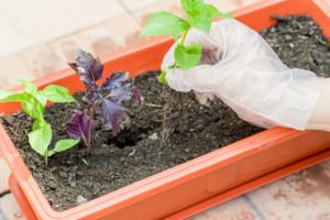 Как вырастить зиру